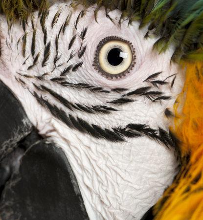 Portrait of Blue and Yellow Macaw, Ara Ararauna, eye photo