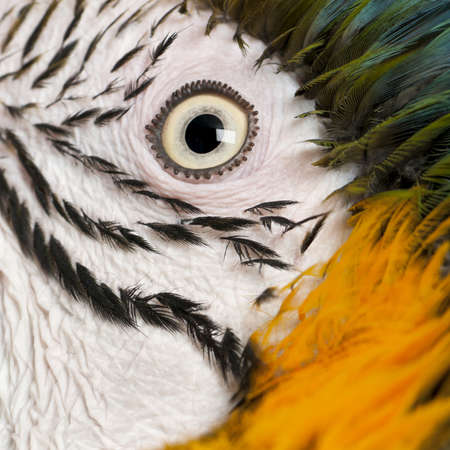 bird's eye view: Portrait of Blue and Yellow Macaw, Ara Ararauna, eye