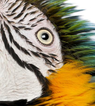 Close up of Blue and Yellow Macaw, Ara Ararauna, eye photo