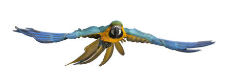 parrot flying: Portrait of Blue and Yellow Macaw, Ara Ararauna, flying in front of white background Stock Photo