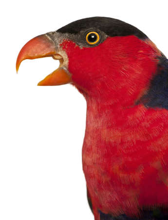 black beak: Close up of Black-capped Lory, Lorius lory, also known as Western Black-capped Lory or the Tricolored Lory, a parrot in front of white background