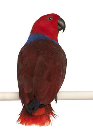 eclectus roratus: Female Eclectus Parrot, Eclectus roratus, in front of white background Stock Photo