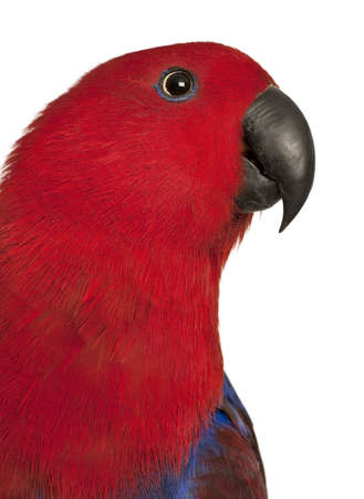 eclectus roratus: Close up of Female Eclectus Parrot, Eclectus roratus, in front of white background