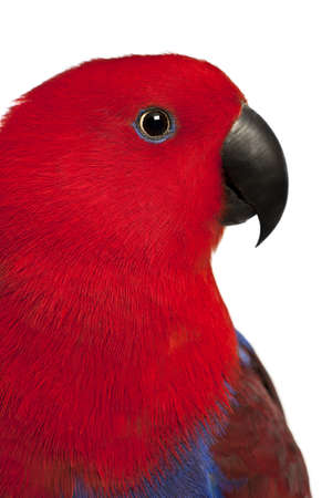 eclectus parrot: Close up of Female Eclectus Parrot, Eclectus roratus, in front of white background