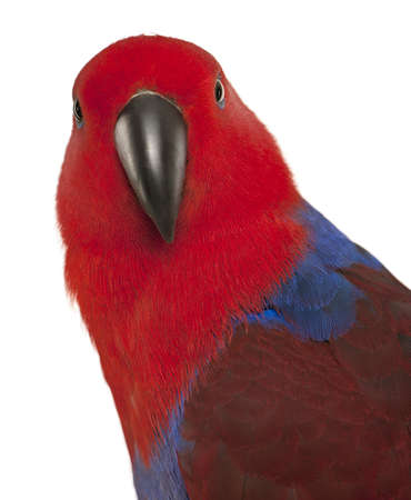 eclectus roratus: Portrait of Female Eclectus Parrot, Eclectus roratus, in front of white background Stock Photo