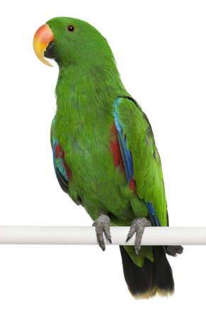 eclectus roratus: Male Eclectus Parrot, Eclectus roratus, perching in front of white background