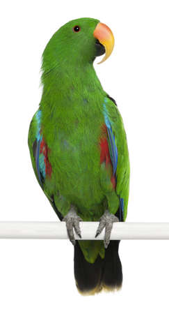 Male Eclectus Parrot, Eclectus roratus, perching in front of white background photo