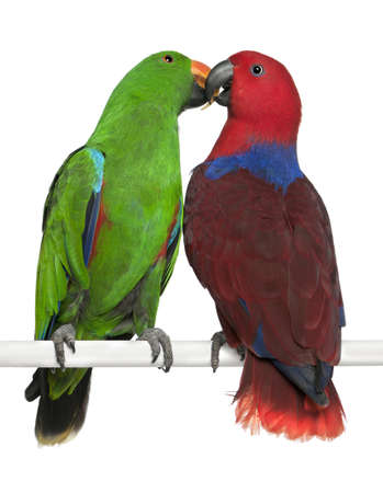 eclectus roratus: Male and Female Eclectus Parrots, Eclectus roratus, perching in front of white background