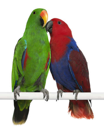 Male and Female Eclectus Parrots, Eclectus roratus, perching in front of white background Stock Photo - 13589283