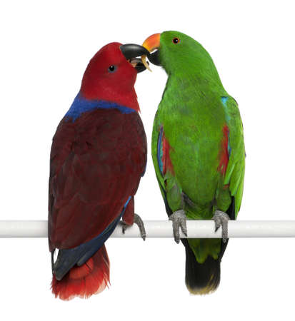 love birds: Male and Female Eclectus Parrots, Eclectus roratus, perching in front of white background
