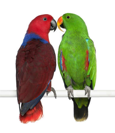 perching: Male and Female Eclectus Parrots, Eclectus roratus, perching in front of white background