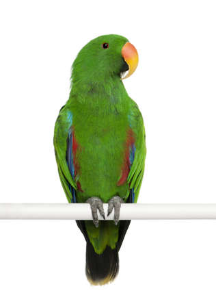 eclectus parrot: Male Eclectus Parrot, Eclectus roratus, perching in front of white background
