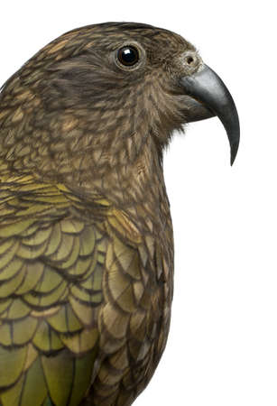Portrait of Kea, Nestor notabilis, a parrot in front of white background photo