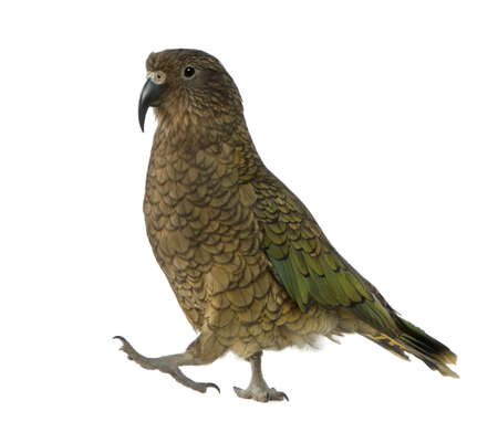 Kea, Nestor notabilis, a parrot, standing in front of white background photo