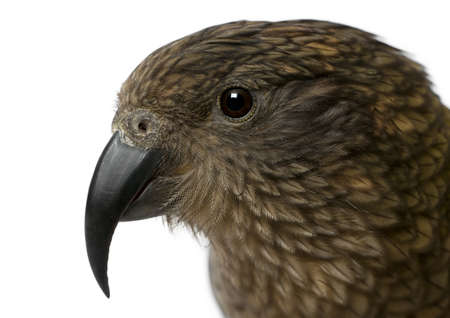 Portrait of Kea, Nestor notabilis, a parrot in front of white background Stock Photo - 13590162