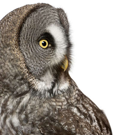 Close up of Great Grey Owl or Lapland Owl, Strix nebulosa, a very large owl, in front of white background photo
