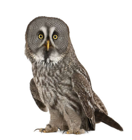 lapland: Portrait of Great Grey Owl or Lapland Owl, Strix nebulosa, a very large owl, standing in front of white background