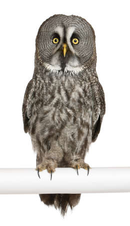 Portrait of Great Grey Owl or Lapland Owl, Strix nebulosa, a very large owl, perching in front of white background Stock Photo - 13587981