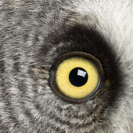 birds eye view: Portrait of Great Grey Owl or Lapland Owl, Strix nebulosa, a very large owl, eye Stock Photo