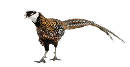 Male Reevess Pheasant, Syrmaticus reevesii, can grow up to 210 cm long, in front of white background photo