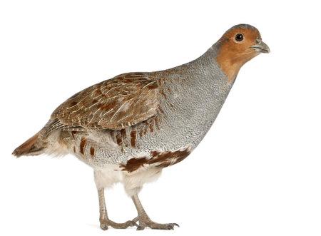 perdrix: Portrait de Perdrix, Perdix perdix, �galement connu sous le nom Partridge anglais, hongrois Partridge, ou Hun, un gibier � plume dans la famille des faisans, debout devant un fond blanc Banque d'images