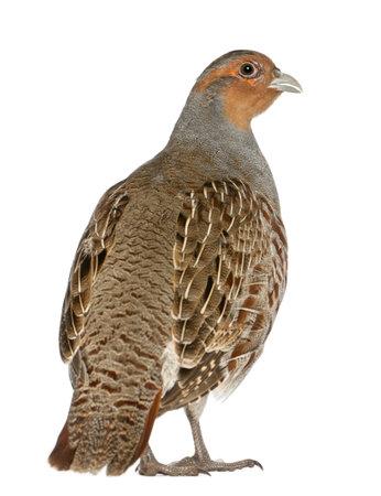 Portrait de Perdrix, Perdix perdix, également connu sous le nom Partridge anglais, hongrois Partridge, ou Hun, un gibier à plume dans la famille des faisans, debout devant un fond blanc Banque d'images