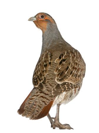 kuropatwa: Kuropatwa, Perdix perdix, znany również jako Partridge angielskim, węgierskim Partridge lub Hun, ptaków gra rodziny bażantów, stojących z przodu białe tło Zdjęcie Seryjne