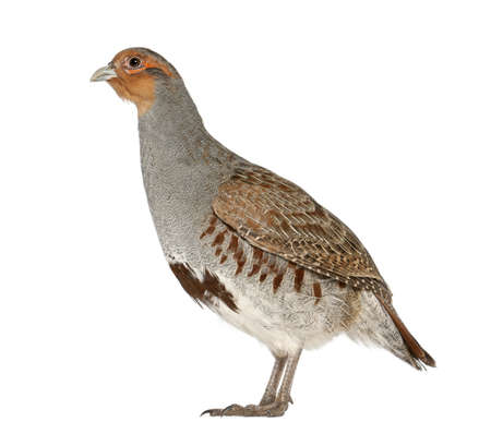 Grey Partridge, Perdix perdix, also known as the English Partridge, Hungarian Partridge, or Hun, a game bird in the pheasant family, standing in front of white background Stock Photo