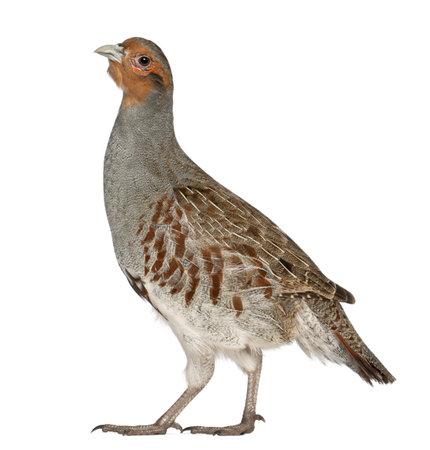 Portrait de Perdrix, Perdix perdix, également connu sous le nom Partridge anglais, hongrois Partridge, ou Hun, un gibier à plume dans la famille des faisans, debout devant un fond blanc
