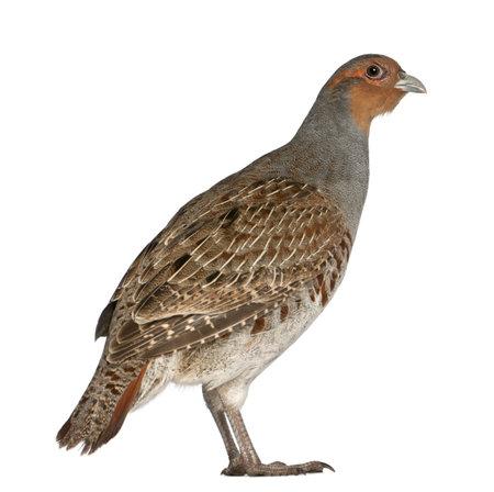kuropatwa: Portret kuropatwa i Perdix perdix, znany również jako angielskim Partridge, węgierskim Partridge lub Huna i ptaków gra z rodziny bażantów, stoi przed białym tle