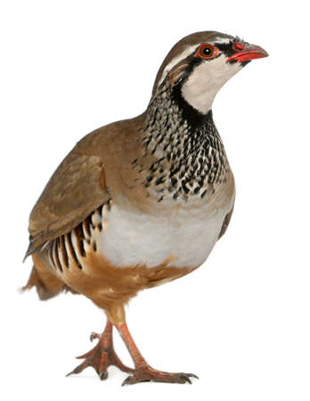 rufa: Red-legged Partridge or French Partridge, Alectoris rufa, a game bird in the pheasant family in front of white background Stock Photo
