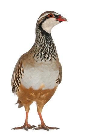 kuropatwa: Red-legged Partridge lub francuski Partridge Alectoris rufa, ptak gra z rodziny bażantów, stoi przed białym tle Zdjęcie Seryjne