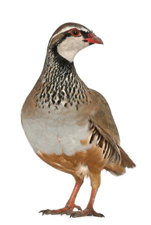 kuropatwa: Red-legged Partridge lub francuski Partridge Alectoris rufa, ptak gra z rodziny bażantów, stoi przed białym tle