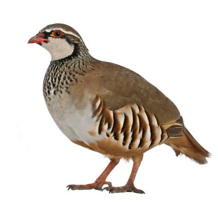 kuropatwa: Portret Red nogami Partridge lub francuskim Partridge'a, Alectoris rufa i ptaków gra rodziny bażantów, stoi przed biaÅ'ym tle Zdjęcie Seryjne