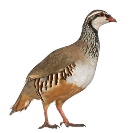 Red-legged Partridge or French Partridge, Alectoris rufa, a game bird in the pheasant family, standing in front of white background