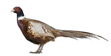 Male American Common Pheasant, Phasianus colchicus, standing in front of white background