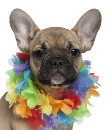 hawaiian lei: French Bulldog puppy, 3 months old, wearing a Hawaiian lei in front of white background