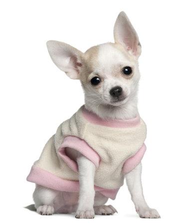 perros vestidos: Cachorro de Chihuahua, 11 semanas de edad, sentado delante de fondo blanco Foto de archivo