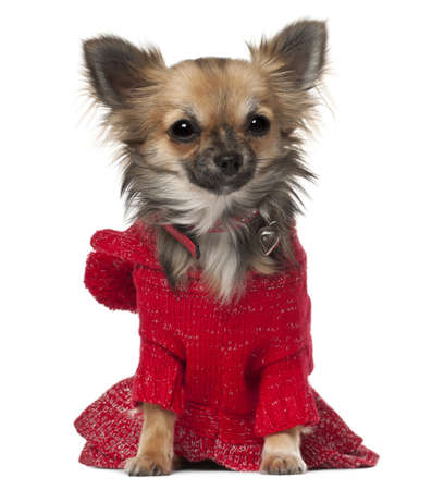 Chihuahua, 7 months old, sitting in front of white background photo
