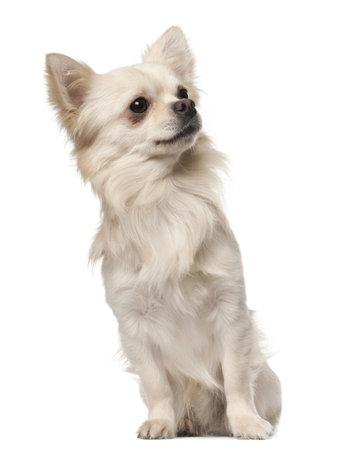perro chihuahua: Chihuahua, 18 meses de edad, sentado delante de fondo blanco Foto de archivo