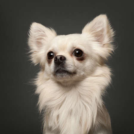 Chihuahua, 18 months old, in front of white background photo