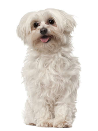 white maltese: Maltese, 6 years old, sitting in front of white background