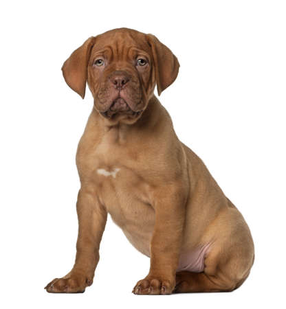 dogue de bordeaux: Dogue de Bordeaux puppy, 8 weeks old, sitting in front of white background Stock Photo