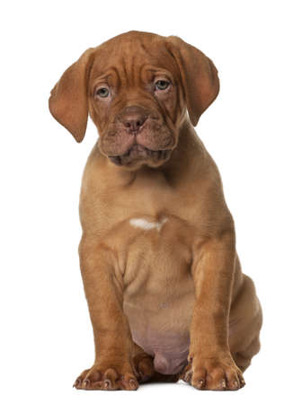 Dogue de Bordeaux puppy, 8 weeks old, sitting in front of white background photo