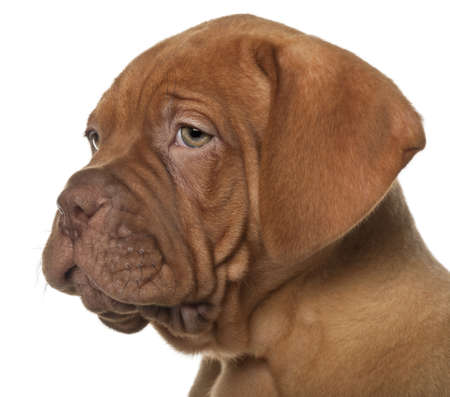 dogue de bordeaux: Dogue de Bordeaux puppy, 8 weeks old, in front of white background