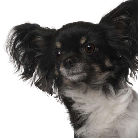 crossbreed: Crossbreed dog in front of white background