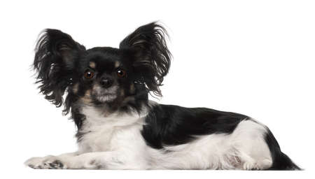 crossbreed: Crossbreed dog lying in front of white background