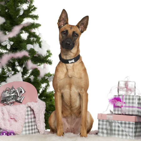 chien: Belgian Shepherd Dog, Malinois, 1 year old, with Christmas tree and gifts in front of white background