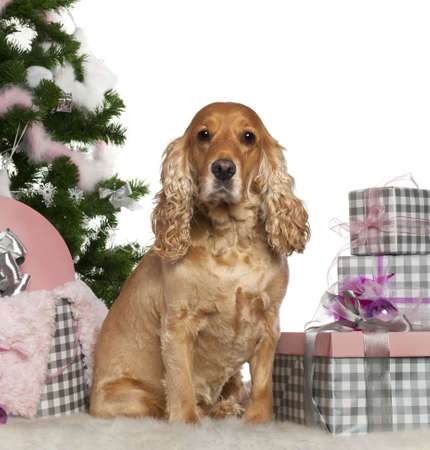 English Cocker Spaniel, 4 years old, with Christmas tree and gifts in front of white background photo