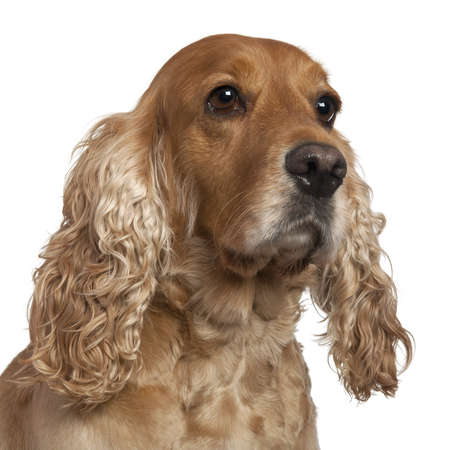 English Cocker Spaniel, 4 years old, in front of white background photo